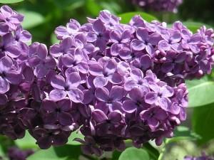 Syringa vulgaris-1